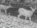 Wildlife camera photo of deer next to a creek
