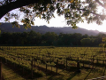 A field with grape vines