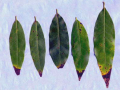 bay leaves with brown tips