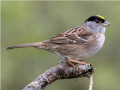 a golden crowned sparrow on a branch