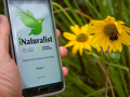 a hand holds a smart phone with the iNaturalist app open next to a sunflower in a field with a bee pollinating