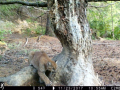 camera view of a mountain lion stepping over a worn tree root