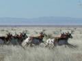 a herd of antelope runs across a grassland