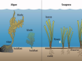 graphic of algae and seagrass