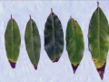 California bay laurel leaves with brown tips