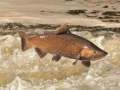 A Chinook salmon leaps out of turbulent water
